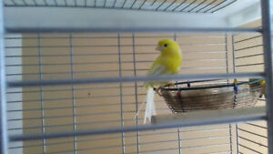 Male yellow canary mix with amerian singer and roller (great mi