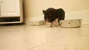 Mini Potbelly Pig