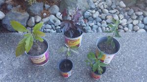 Avocado, Fruit Cherry & Maple