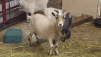 Beautiful little pygmy goat family FOR SALE