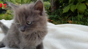 Russian Blue ( long haired)