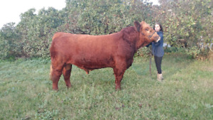 Simmental Yearling