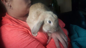 Lop bunny with cage