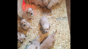 Expecting in August Golden retriever puppies