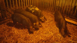 Berkshire Pigs For Sale