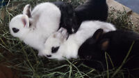 Hotot Dwarf Rabbits for Sale!!