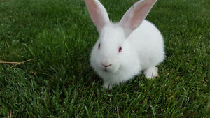 New Zealand White Bunnies For Sale