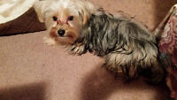 Loving home for this 9 month yorkie
