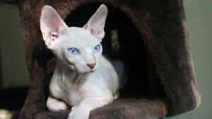 White Female Sphynx Kitten