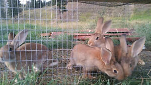 meat or breeding rabbits ages 3 to 5months pure bred&cross