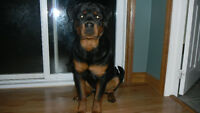 Looking For Rottweiler Puppy