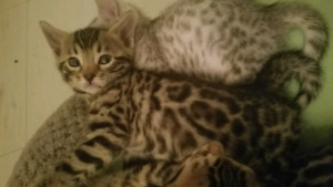 Bengal kittens with  detailed markings ♡