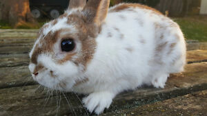 Looking for a Sweet & Soft Small  Bunny to Add to Your Family? Oakville / Halton Region Toronto (GTA) image 4