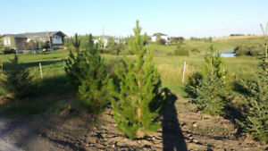 Nice Trees for Sale, $30 only!