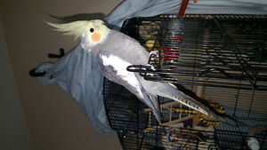 Young Male Cockateil with large cage and toys