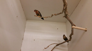 Birds - Finches and Budgies
