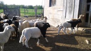 Intact Katahdin/Dorper Ram Lambs