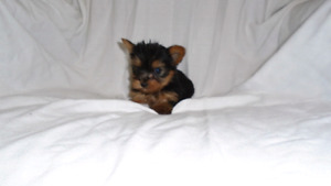 Yorkie male puppies
