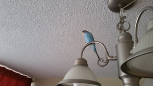 Baby budgie with beautiful cage