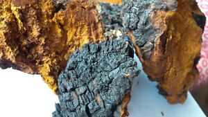 Chaga chunks or powder for sale