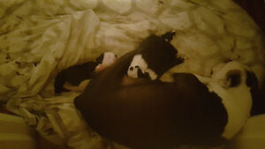 Chiot boston terrier