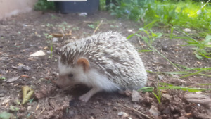 Female hedgehog with cage