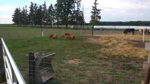 Pasture raised heritage pork London Ontario image 2