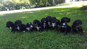 Bernedoodle Puppies for sale!!! Super markings