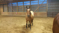 AQHA Dun Gelding for Sale