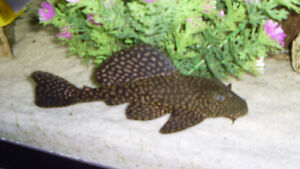 Fish Plecos Bottom Feeders Various Sizes Breeding Pairs Fish For Rehoming Woodstock