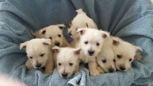 Adorable  West Highland White Terrier (Westie) puppies