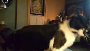 Rescued Tuxedo FREE  fixed male cat.