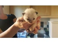 Pedigree Ragdoll kittens 2 boys and 2 girls
