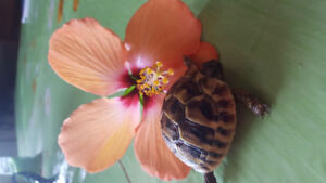 Hermanns tortoise babies available