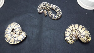 Fire and Hypo Ball Pythons