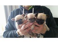 3 beautiful pedigree chihuahua girls