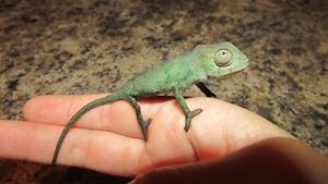 Beautiful baby Panther Chameleon for sale
