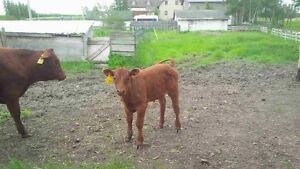 Bottle calf for sale