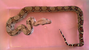 Ball python albino and  boa