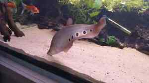 16 inch Clown Knife Fish London Ontario image 4