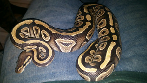 Selling a mystic ball python & cage
