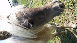11 Month Old Miniature Pony