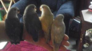 Hand tamed baby peach face lovebirds for sale.