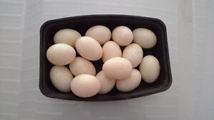 Farm fresh duck and chicken eggs
