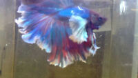 Looking for a Betta male Feather Tail Halfmoon Dumbo for sale