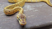 Cleaning out the racks Ball Python SALE!!