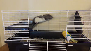 TWO MALE RATS FOR GOOD HOME