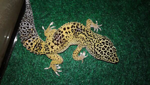 Leopard Gecko with tank