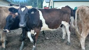 Yearling Dairy Heifers