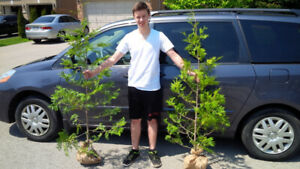 CEDAR HEDGE TREES *** 1 DAY ONLY *** FREE DELIVERY TO WOODSTOCK